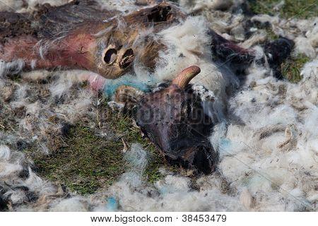 Rotting Sheep Carcass