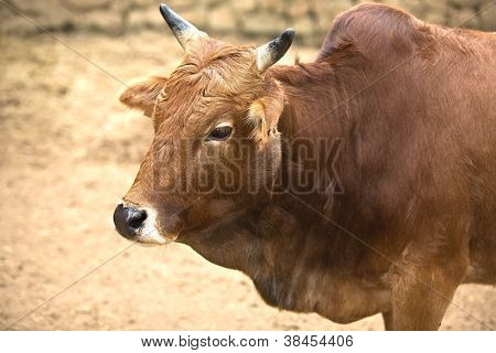 Little indian cow