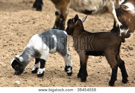 African Goat Family