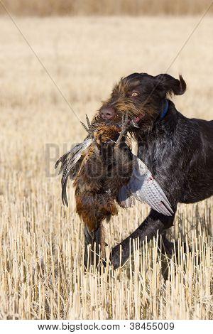Pheasant and Hunting Dog