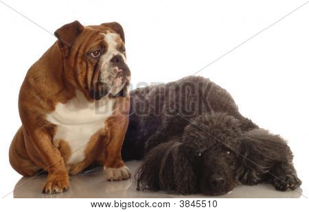 Bulldog And Standard Poodle