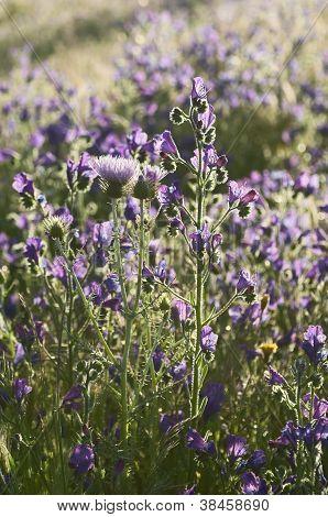 Púrpura Viper de buglosa