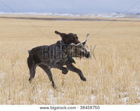 Dog with a Mallard