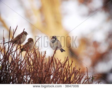Sparrows On The Bush