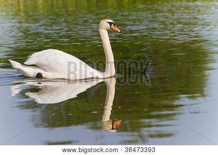 One Swan Swimming