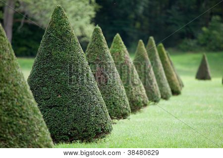 Line Of Cone Evergreen Box Tree Bushes In Cultivated Park