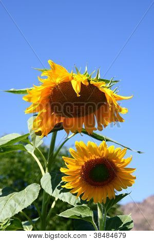 Two Sunflowers Under Blue Sky