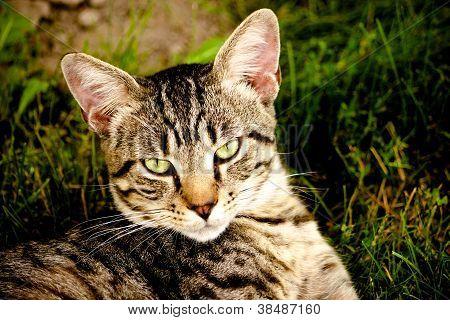Feral Tom Cat