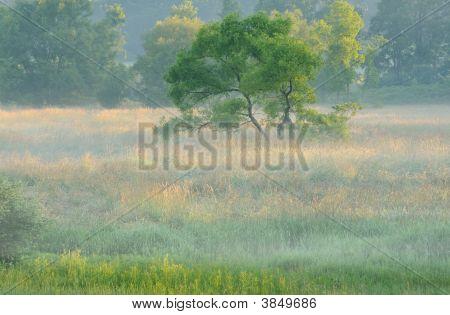 Tree In Foggy Meadow