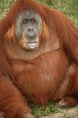 foto of memphis tennessee  - An Orangutan at the Memphis Tennessee zoo.