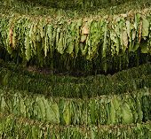 foto of tobacco leaf  - Classical way of drying tobacco from Macedonia - JPG
