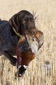 image of ringneck  - Hunting dog with a rooster pheasant in North Dakota - JPG