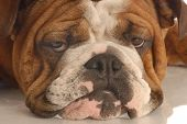 English Bulldog Face Scowling poster