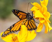 Migrating Monarch Butterlies In Autumn