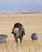 picture of gadwall  - Hunting Dog with a Mallard Drake in a wheat field - JPG