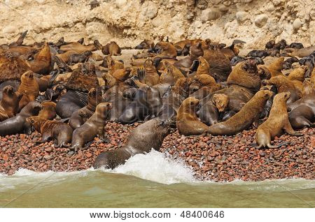 Sea Lion Colony Ona Remote Island