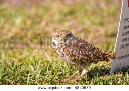 A Burrowing Owl Outside His Burrow