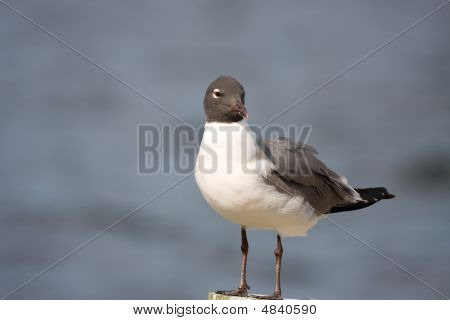 A Laughing Gull Preening On A Piling