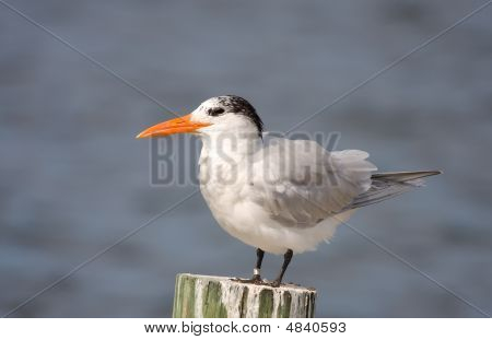 A Royal Tern Resting On A Piling