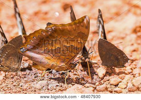 Scarce Tawny Rajah Butterfly