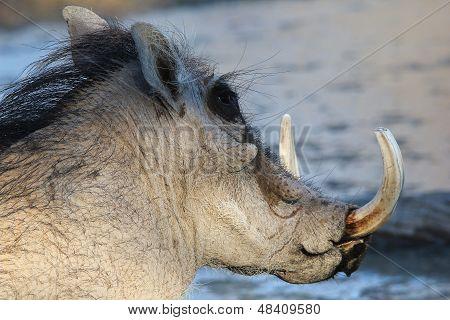 Warthog - Wildlife Background from Africa - Boar Antics