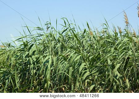 Dense Thicket Of Reeds