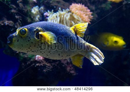 Close Up Of Blackspotted Puffer