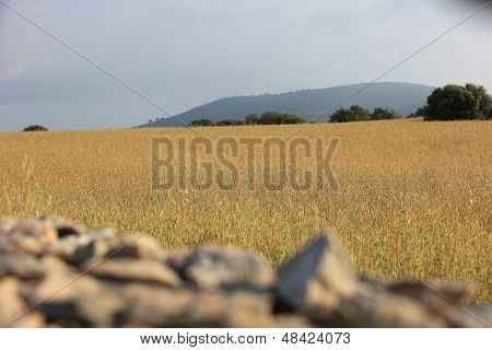 Agricultural Field With Golden Wheat
