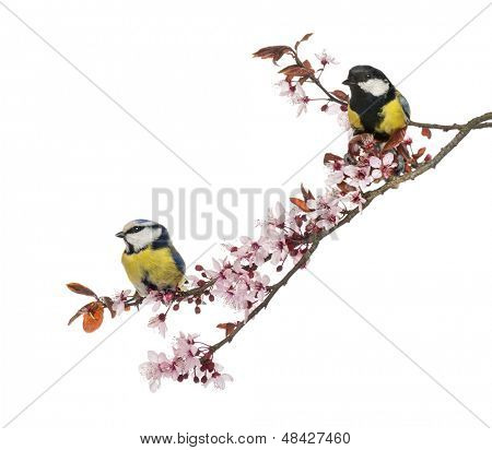 Great Tit and Blue Tit perched on a blossoming branch, isolated on white