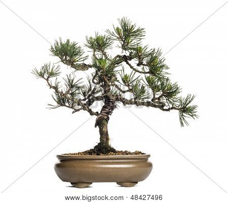 Scots pine bonsai tree, Pinus sylvestris, isolated on white