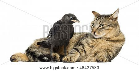 Western Jackdaw looking at a lying cat, isolated on white