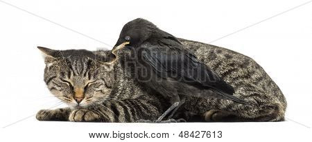 Western Jackdaw pecking a cat, isolated on white