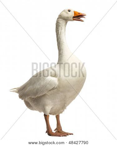 Domestic goose, Anser anser domesticus, standing and clucking, isolated on white