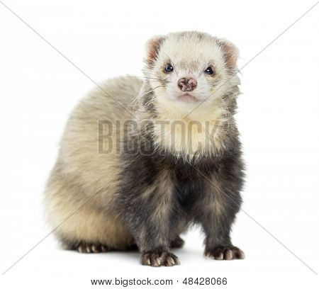 Ferret facing, isolated on white