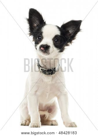 Harelip Chihuahua sitting, isolated on white