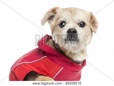 Close up of a ill dressed Crossbreed dog, isolated on white
