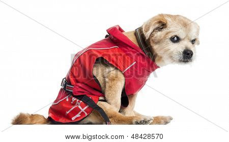 Side view of a ill dressed Crossbreed dog, isolated on white