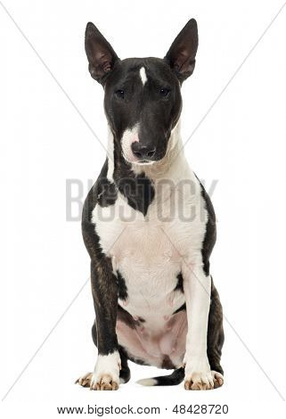 Bull Terrier Miniature sitting, isolated on white