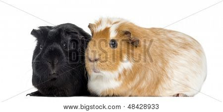 Two Guinea pigs next to each other, isolated on white