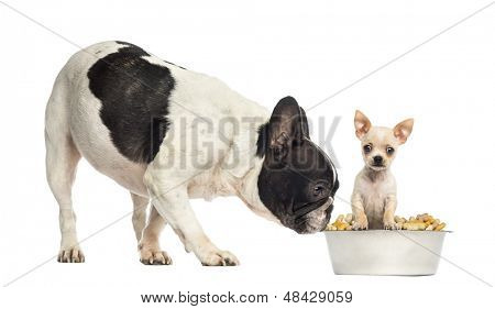 French Bull dog sniffing at a Chihuahua puppy in a bowl, isolated on white