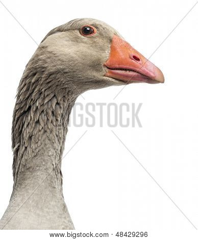 Close-up of a Domestic goose, Anser anser domesticus, isolated on white