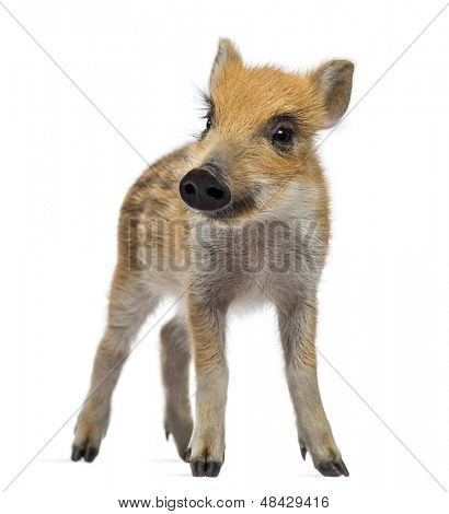 Wild boar, Sus scrofa, also known as wild pig, 2 months old, standing and looking away, isolated on white