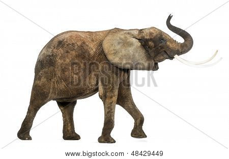 Side view of an African elephant lifting its trunk, isolated on white