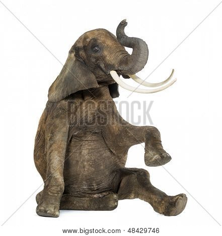 African elephant performing, seated on the floor, trunk up, isolated on white