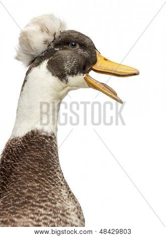 Close up of a Male Crested Duck, lophonetta specularioides, quacking, isolated on white