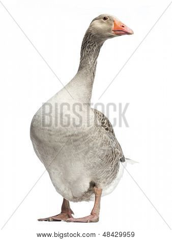 Domestic goose, Anser anser domesticus, standing, isolated on white