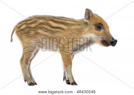 Wild boar, Sus scrofa, also known as wild pig, 2 months old, standing, isolated on white