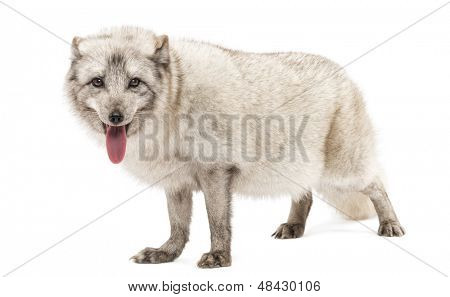 Arctic fox, Vulpes lagopus, also known as the white fox, polar fox or snow fox, standing, panting, isolated on white