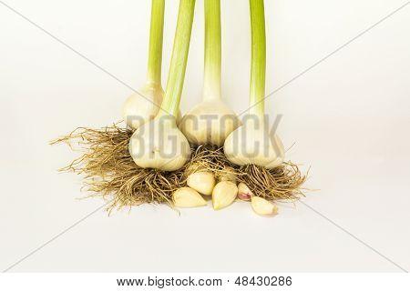 Fresh Harvest Garlic
