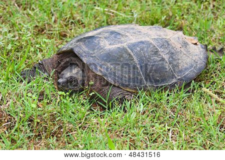 Large snapping turtle